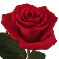 Роза Форевер