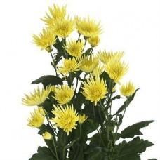 Хризантема кустовая Анастасия желтая