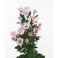 Хризантема кустовая Анастасия розовая