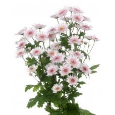 Хризантема кустовая Самос