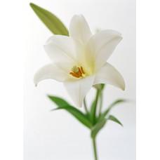 Лилия белая (местная)