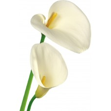 Каллы белые (голландские)