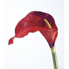 Каллы красные (голландские)